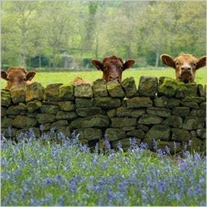 bbc-countryfile-cattle-and-bluebells-in-nidderdale