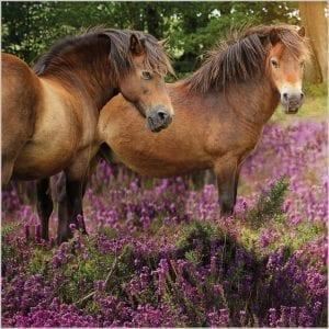 bbc-countryfile-wild-exmoor-ponies