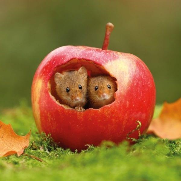 11889-bbc-springwatch-harvest-mice-greeting-card