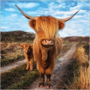7899-bbc-countryfile-highland-cattle-greeting-card