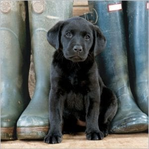 7904-bbc-countryfile-black-labrador-puppy-wellies-greeting-card